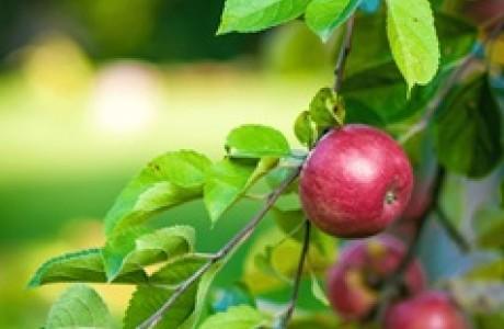 מתוק התפוח