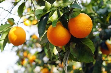 סוף עונת התפוזים