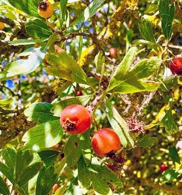 עזרור - כנראה התפוח המקראי שגדל כאן בארץ